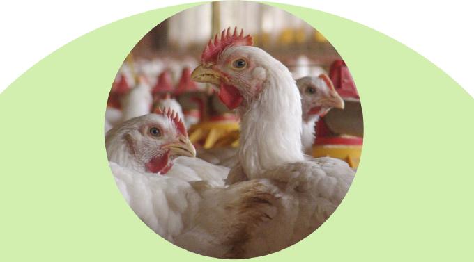 גידול מטילות לביצי מאכל